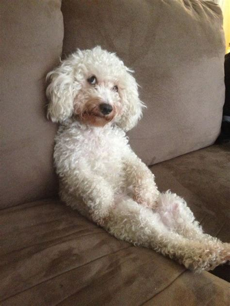 can my teacup poodle get the standard poodle haircut 83 best images about cute poodles on pinterest teacup