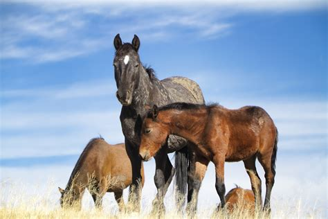 pictures of mustang horses mustang foal photos images of baby mustang horses
