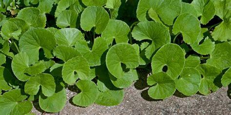 Obat Herbal Demam Tinggi resep herbal demam cara alami turunkan panas deherba