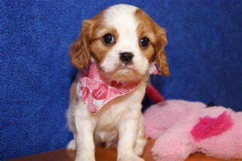 cavalier puppies for adoption cavalier king charles puppies for adoption belfast dogs for sale puppies for sale