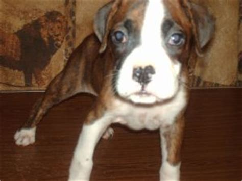 boxer puppies for sale in raleigh nc boxer puppies in