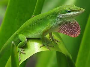 lizard that changes colors lizards and the language of colour change scientific