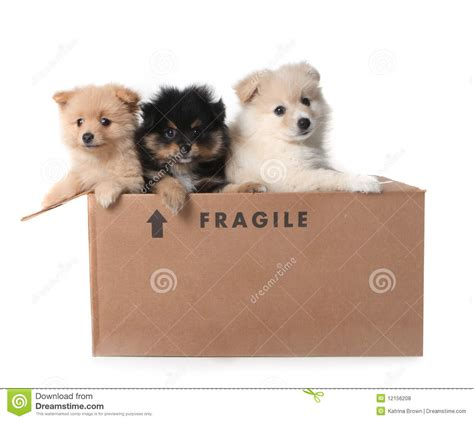 Boxes For Dogs Picture More - adorable pomeranian puppies in a cardboard box royalty