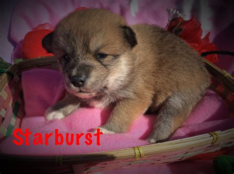 dogs for sale utah new pomsky puppies for sale in utah