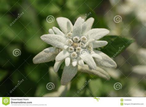edelweiss fiore alpino fiore di edelweiss immagini stock immagine 14930594