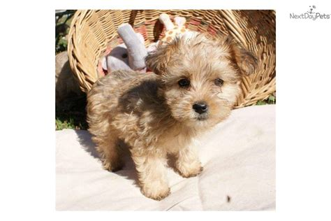 where to buy yorkie poo puppies buy yorkie poo puppies yorkie poo dogs breeds picture