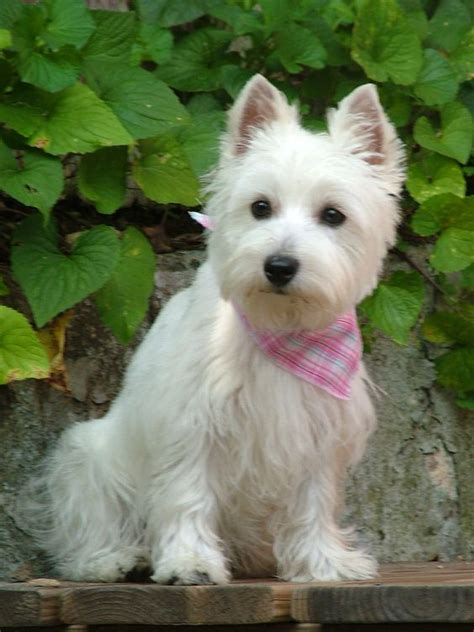 West Highland White Terrier Shedding by White Terrier Highlands And Terriers On