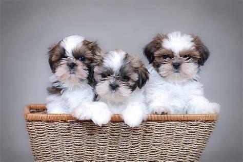 shih tzu puppy images shih tzu puppies photograph by waldek dabrowski