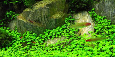 aquascaping plants understanding iwagumi aquascaping style the aquarium guide
