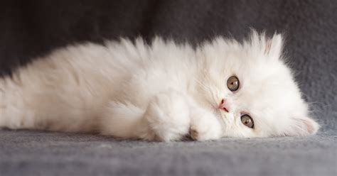 gatti persiani di quali cure ha bisogno un gatto persiano sepicat