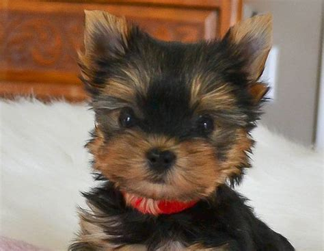 yorkie puppies for sale tennessee the world s catalog of ideas