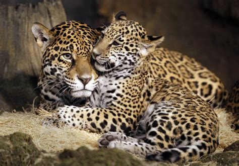 baby jaguars are named at the zoo