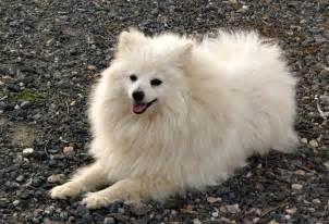 volpino italiano puppies rescue pictures information temperament characteristics