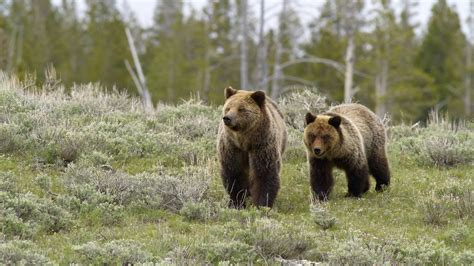 yellowstone 183 national parks conservation association concerns raised over endangered species act removal of