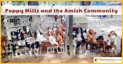 amish and puppy mills puppy mills and the amish community cavalier pet rescue at work