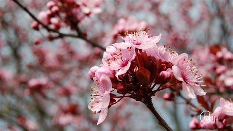Japanische Bäume Für Den Garten Kaufen by Die 103 Besten Fr 252 Hlingsbilder Hintergrundbilder