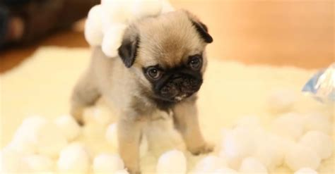 how much to buy a pug 10 things only a pug owner would understand pugs are awesome