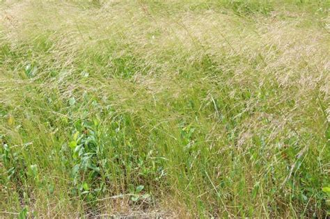 Scientific Name Of Grass by Ticklegrass Department Of Agriculture And Aquaculture
