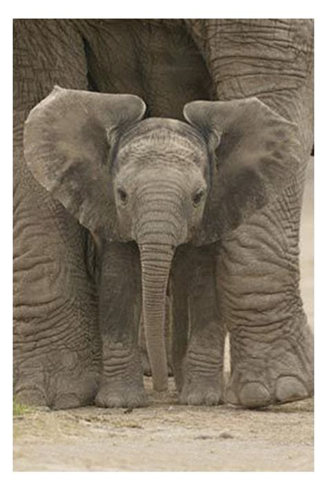 elephant poster elephants posters calendar toy action figure poster picture game standup uk
