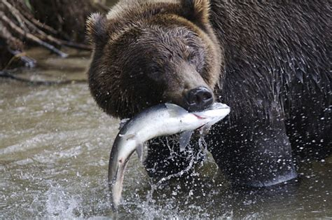 grizzly bear facts animal facts encyclopedia