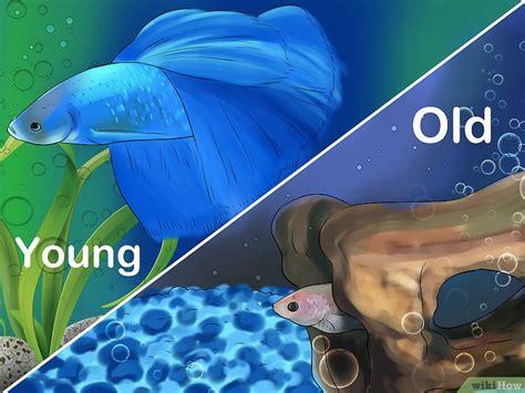 Makanan Ikan Cupang Usia 3 Hari cara menentukan usia ikan cupang wikihow