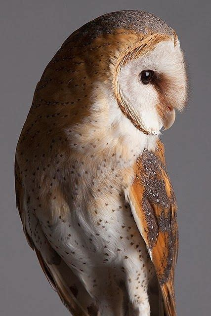 live barn owl barn owl in profile showing wonderful intricacy of