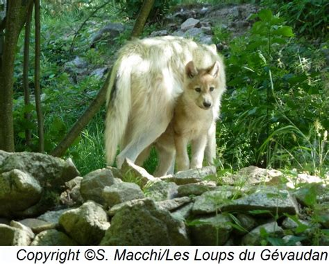 1325307793 loups et louveteaux du canada louveteaux 2016 les loups du g 233 vaudan