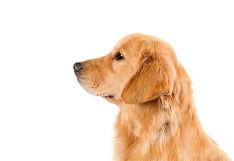 breeds similar to golden retriever golden retriever breed information american kennel club