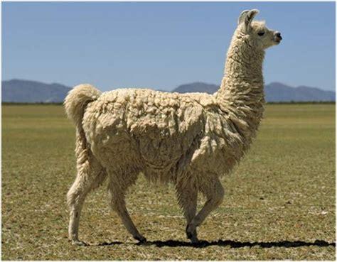 imagenes de animales llamas fauna latinoamericana la m 237 tica llama otro mundo es posible