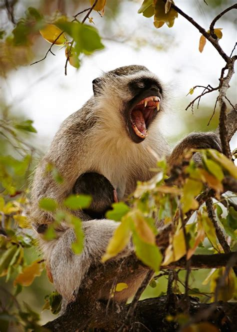 nicko the tale of a vervet monkey on an farm books vervet monkey yawning kruger national park south africa