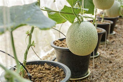 coltivare meloni in vaso come coltivare il melone non sprecare