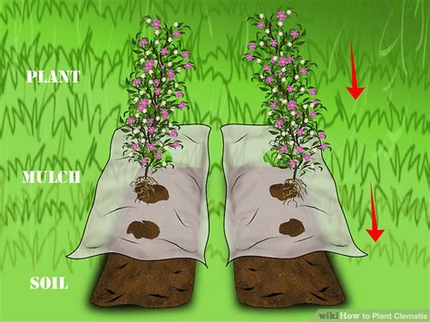 3 easy ways to plant clematis with pictures wikihow 3 easy ways to plant clematis with pictures wikihow