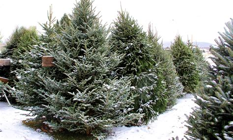 awesome picture of christmas trees new jersey new jersey