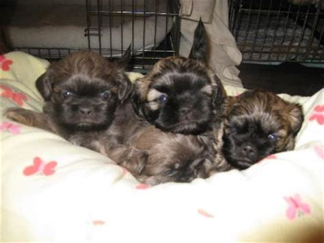 puppies for sale asheville nc shih tzu puppies for sale nc shih tzu breeder nc