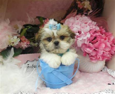 shih tzu teacup puppies for sale in shih tzu puppies teacup shih tzu shih tzu for sale breeder teacup miniature