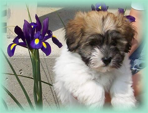 halo havanese puppies 49 best which is right for you images on animals breeds and