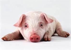 le porc le cochon recettes de cuisine et astuces d un