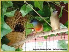 Serat Kayu Tempat Sarang Bertelur Burung perawatan dan penangkaran burung bondol hijau binglis pin