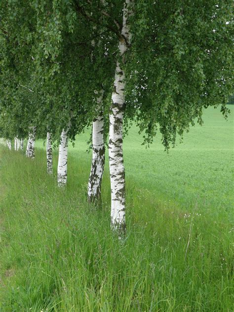 celtic shadows the birch tree