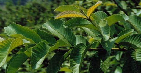 Daun Jambu Biji Klutuk yayasan sanctuary aneka herbal quot khasiat daun jambu biji