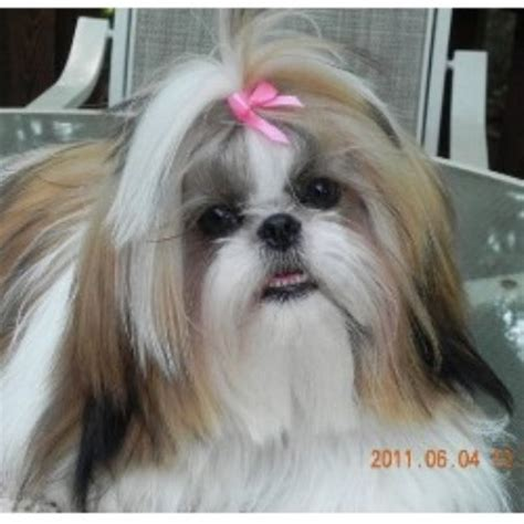 shih tzu puppies rescue nc shih tzu breeders in carolina freedoglistings