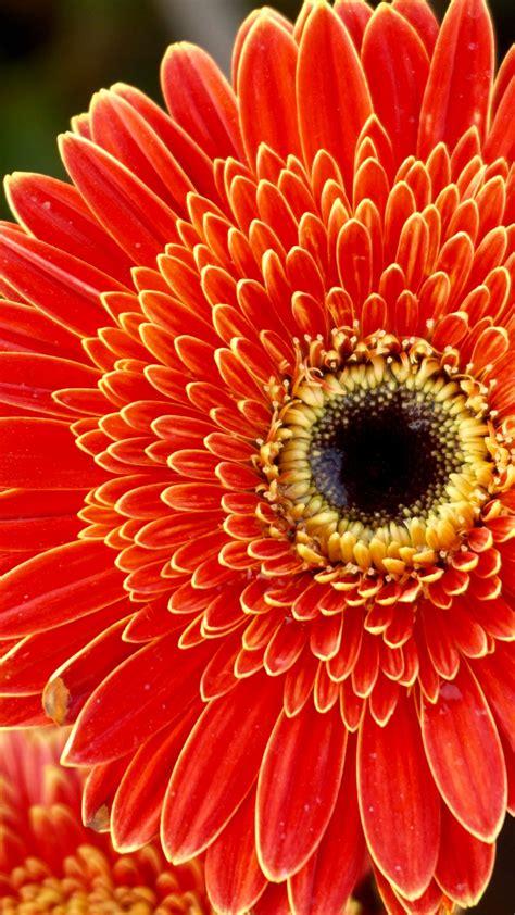 wallpaper gerbera flowers orange flowers hd  flowers