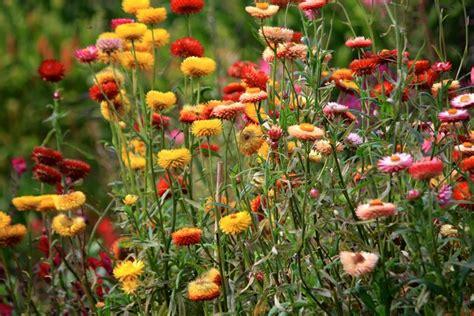 fiori di elicriso elicriso lucido fior di carta helichrysum bracteatum