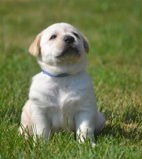 labs puppies family loved labs labradors for sale