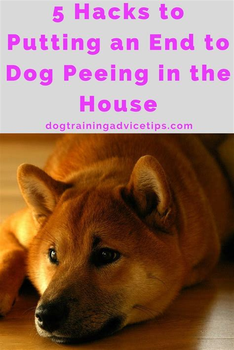dogs peeing in the house 25 unique dog pee ideas on pinterest cleaning dog pee dog urine remover and dog pee smell