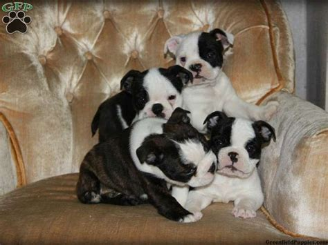 boston terrier pitbull mix puppies best 25 boston terrier for sale ideas on boston terrier pups boston