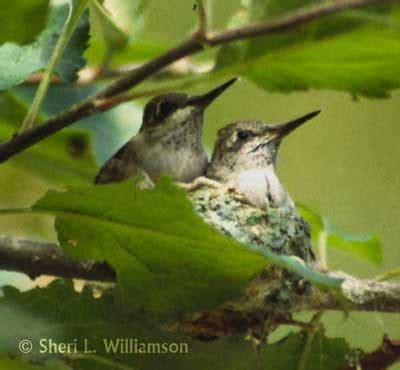 rescuing baby hummingbirds life birds and everything