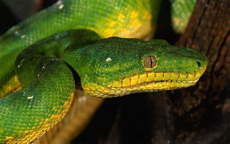 imagenes de serpientes verdes serpiente verde hd 1920x1200 imagenes wallpapers