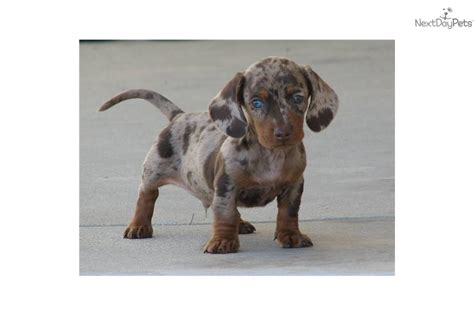 dapple dachshund puppies for sale dapple dachshund puppies for sale in breeds picture
