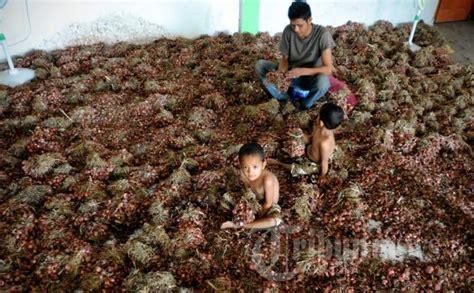 Bibit Bawang Merah Aceh jabar rintis penangkaran bibit bawang merah tribunnews